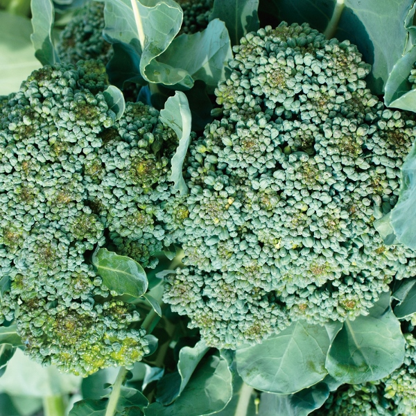 Kings Seeds Calabrese Parthenon F1-50 Seeds