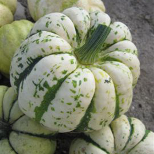 Musquee de Provence 15 Seeds Kings Seeds Squash Winter