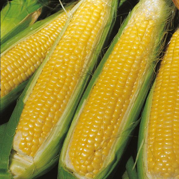 Kings Seeds - Sweet Corn Sweet Nugget F1 SH