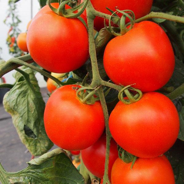Tomato Cherrola F1-15 Seeds Kings Seeds