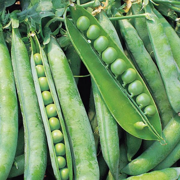 Kelvedon Wonder Vegetable 350 Seeds Pea