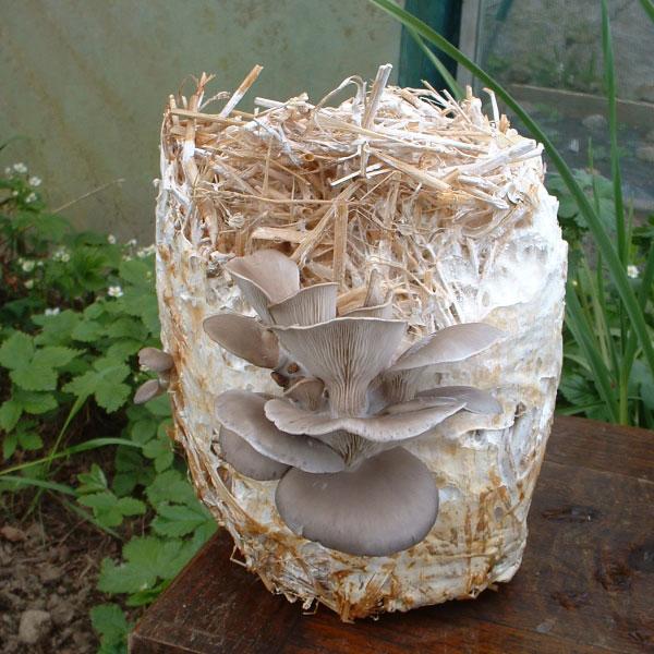 Kings Seeds - Mushroom Seeds