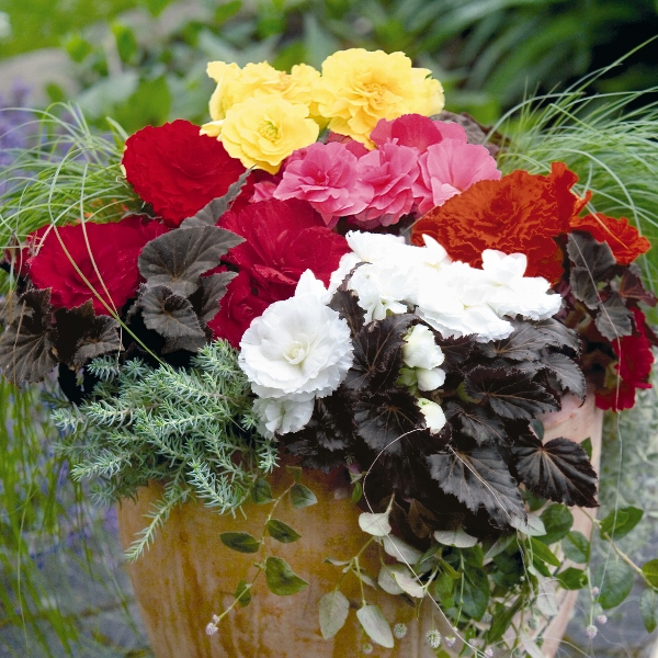 Garden & Patio Begonia Non-Stop Mixed F1-50 Seeds Kings Seeds