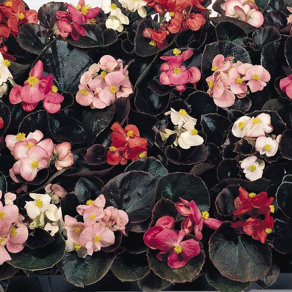 Sunshine Carpet Begonia Kings Seeds 750 Seeds