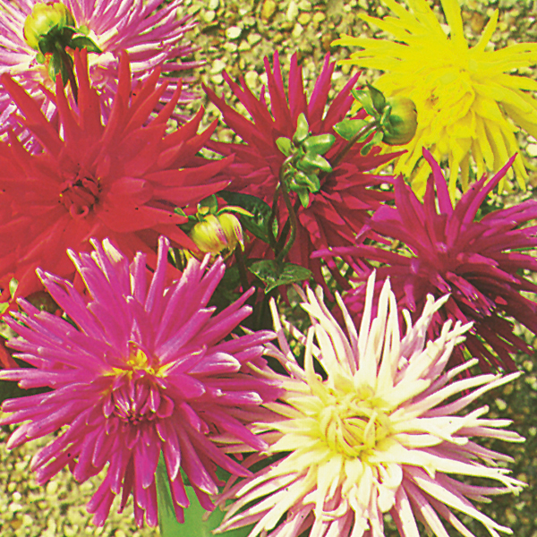 Dahlia Coltness Hybrids Kings Seeds 60 Seeds