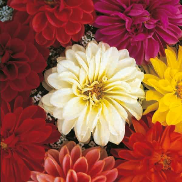 Flower Orange King Kings Seeds Pictorial Packet Calendula