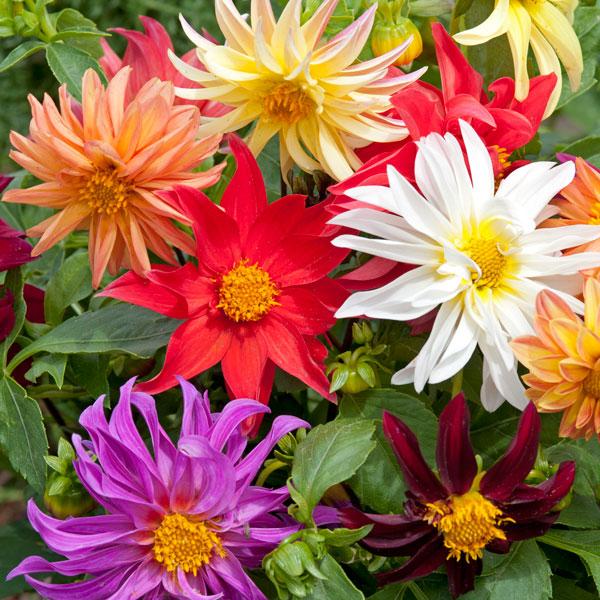 New Pack Kings Dahlia Unwins Dwarf Mixed Flower Seeds