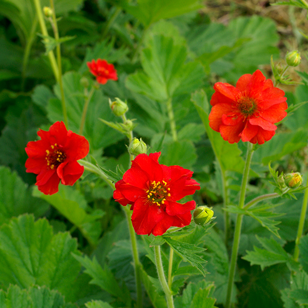 Kings seeds flower seeds a leading supplier of vegetable seeds geum mrs bradshaw mightylinksfo