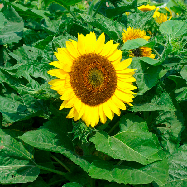 Kings seeds vegetable seeds flower seeds a leading for 74716