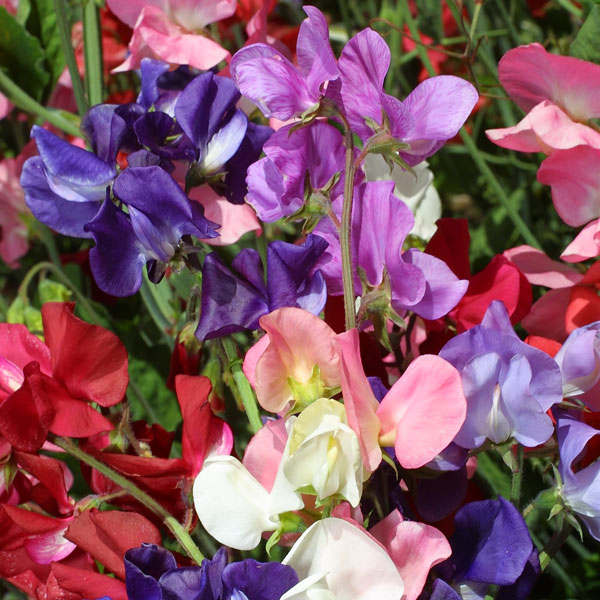 30 Seeds Self Supporting Snoopea Kings Seeds Sweet Pea