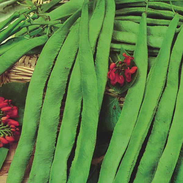 Pack Kings Seed Vegetable Seeds Runner Bean /'Enorma/' Garden Vegetables